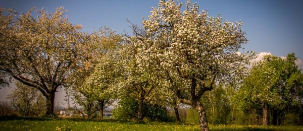 Trachtangebot Hochstamm Obstbäume  | Imkerei Eberle